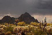 An emerging sun highlights raindrops in Ironwood Forest National Monument.  The light brightens the Spring bloom in May, Sonoran Desert, Eloy, Arizona, USA.