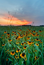 Clasping coneflowers (Dracopsis amplexicaulis (Vahl) Cass.) at sunset, Blackland Prairie at Clymer Meadow Preserve, Texas Nature Conservancy, Greenville, Texas, USA.