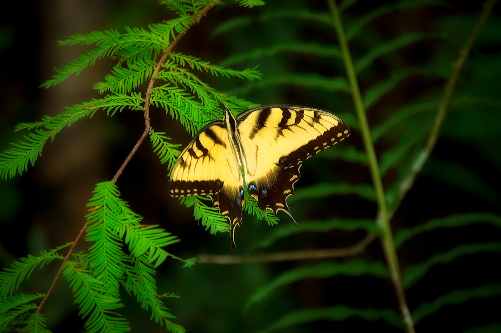 An eastern tiger swallowtail rests on a pond cypress limb in the early morning light, gathering the warmth it will need to power up its flight muscles in the Six-Mile Cypress Slough in Fort Myers, Fl.