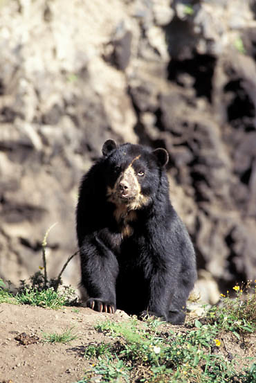 Spectacled Bear, (Tremarctos ornatus) Inhabits the Andes mountains in South America.  Captive Animal.
