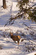 Elk herd in fresh snow on Battle Mountain, Blue mountain range, Oregon
