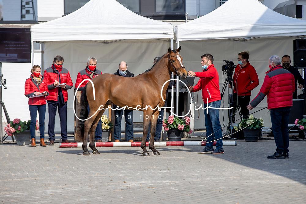 012, Poldark<br /> Hengstenkeuring Brp- Azelhof - Lier  2021<br /> © Hippo Foto - Dirk Caremans<br /> 14/04/2021