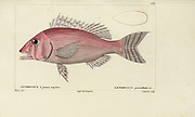 Lethrynus from Histoire naturelle des poissons (Natural History of Fish) is a 22-volume treatment of ichthyology published in 1828-1849 by the French savant Georges Cuvier (1769-1832) and his student and successor Achille Valenciennes (1794-1865).
