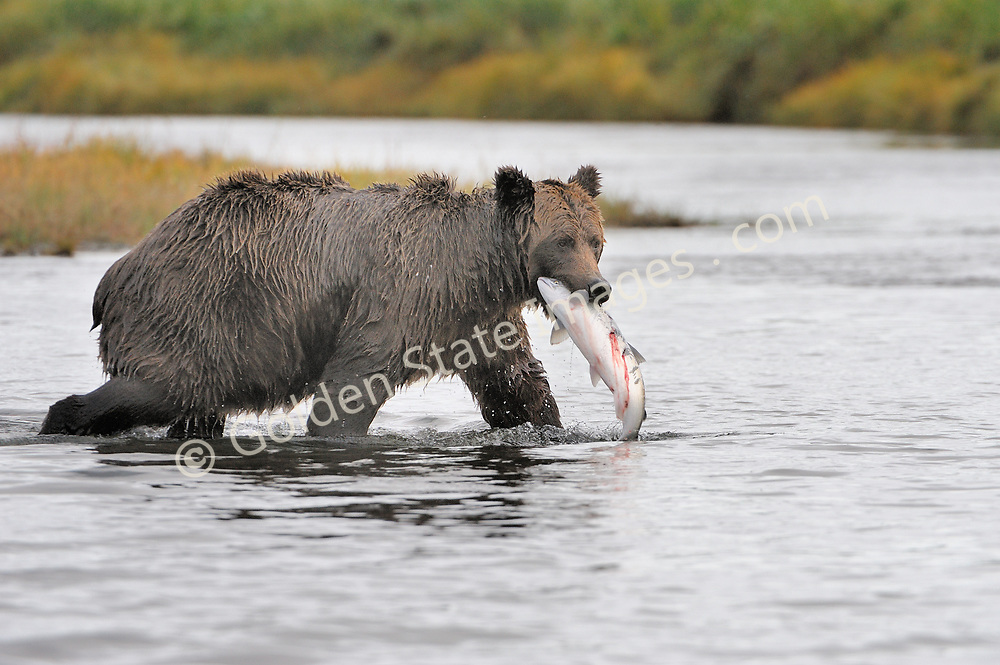 Large sow nails another Silver Salmon.   <br /> <br /> Brown Bears and Grizzly Bears are the same species. In general Bears living within 50 miles of the coast are considered browns. Animals living further inland are considered Grizzlies.  <br /> <br /> Grizzlies are omnivores feeding on a variety of plants berries roots and grasses in addition to fish insects and small mammals. Salmon are a key part of their diet. Normally a solitary animal they will congregate along streams and rivers during Salmon runs. Weight to over 1200 pounds.    <br />  <br /> Range: Native to Asia Africa Europe and North America. Now extinct in much of their original range.    <br />   <br /> Species: Ursus arctos