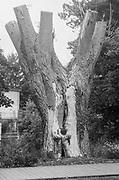 Maidenhead, Berkshire, 04.08.2020, Boulters Lock Island, Loped Tree Taplow Gardens, Maidenhead, Berks, Taplow Riverside Gardens, Mandatory Credit: Peter SPURRIER],<br /> <br /> B&W, Fomapan. Profi, 200 ISO, Leica 3IIIf, Leitz lenses, 3.5cm f3.5, and 5.0cm f2.0 , River Thames, Thames Valley,