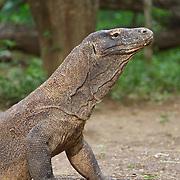 Komodo dragon (Varanus komodoensis), Komodo Island, Indonesia.
