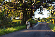 Horse and cart on a country road beneath a giant tree near Aquas Claras in Pinar del Rio, Cuba.