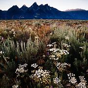 Wildflowers and the Teton Range at Sunset, Grand Teton National Park, Wyoming, USA.