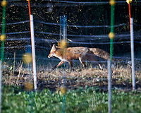 Fox crossing the back section. Image taken with a Nikon D5 camera and 600 mm f/4 VR lens (ISO 500, 600 mm, f/4, 1/1250 sec).