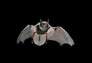 A juvenile Yuma bat (Yuma myotis) in flight at night in the Rogue River National Forest, Oregon.
