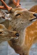 Image of sika deer in Kyoto, Japan by Randy Wells