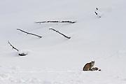 Bobcat (Lynx rufous) in Yellowstone National Park