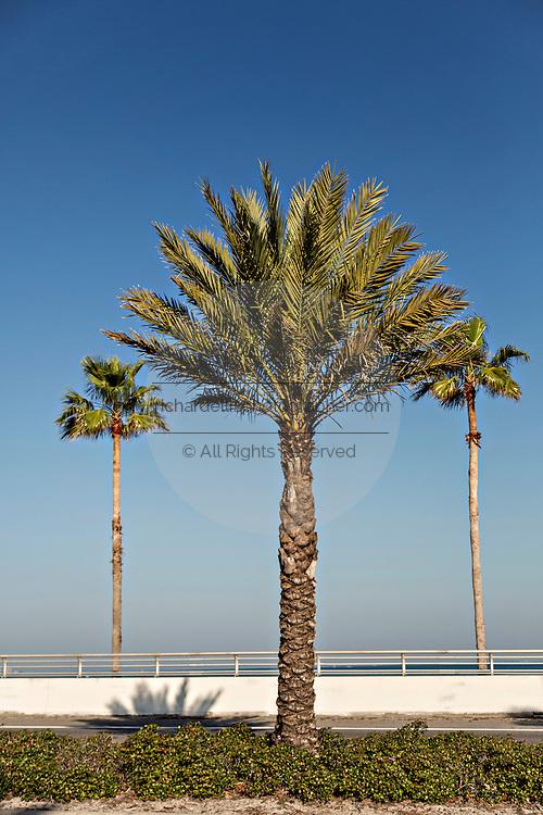 Palm trees along Sarasota Bay Sarasota, Florida