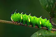 Regal Moth Caterpillar (Citheronia sp.)<br /> Yasuni National Park, Amazon Rainforest<br /> ECUADOR. South America<br /> HABITAT & RANGE: