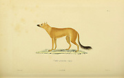 Fox from Souvenirs d'un voyage dans l'Inde exécuté de 1834 à 1839 (A voyage to India) by Delessert, Adolphe, published in Paris in 1843
