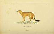 Fox from Souvenirs d'un voyage dans l'Inde exécuté de 1834 à 1839 (A voyage to India) by Delessert, Adolphe, published in Paris in 1843
