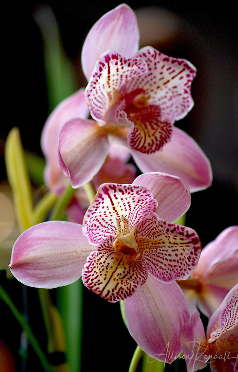 Shades of pink and yellow paint the petals of an exotic orchid flower. Find prints at https://prints.apkphotography.com/shop-art