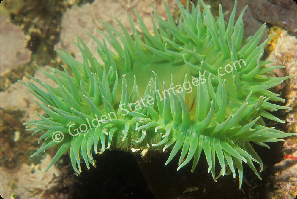 Large solitary sea anemone to about 7 inches in diameter.    <br /> <br /> Range: Alaska to Central Baja California    <br /> <br /> Species: Anthopleura xanthogrammica