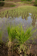 Rice seedlings ready to be planted. Its the rainy season and time to plants rice and millet, the stable food of Nepal.