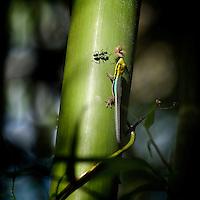 Yellow Head Day Gecko (Phelsuma klemmeri)