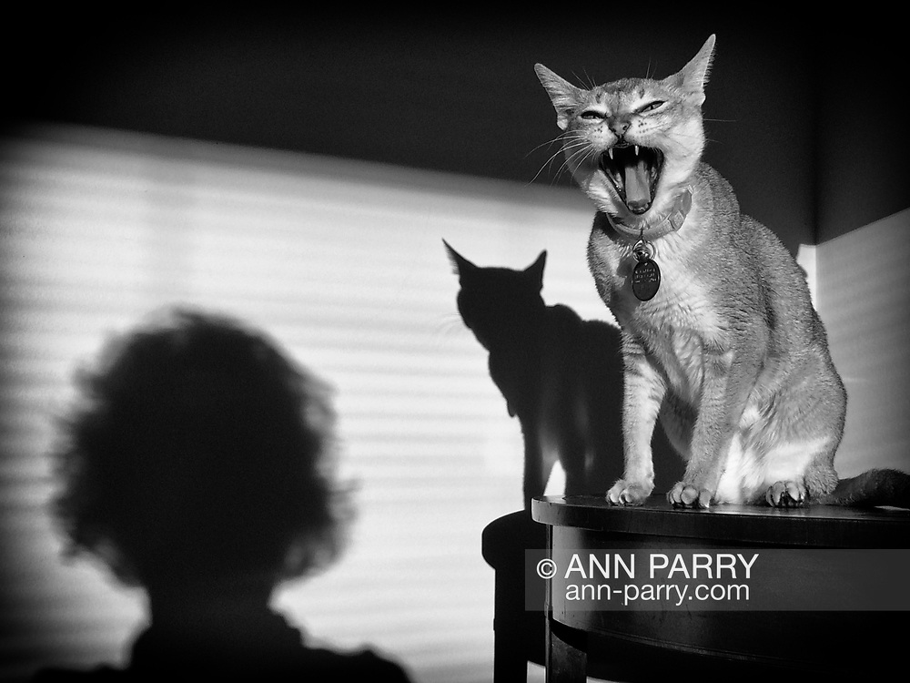 Singapura cat on table, and its shadow and person's shadow on living room wall (image completed August 2020)