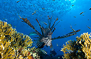 Lionfish (Pterois volitans) amongst corals and reef fish, Fathers reefs, Kimbe Bay