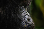A profile of the face of an endangered mountain gorilla (Gorilla beringei beringei), Volcanoes National Park, Rwanda