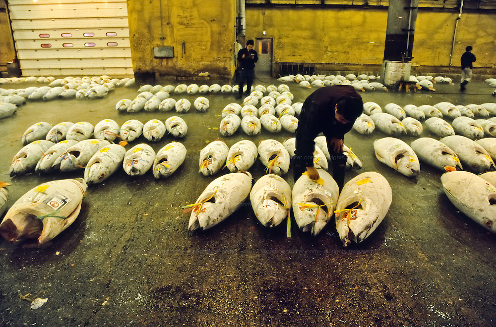 Traders mark frozen tuna with yellow stickers and pens as it is bought and sold at the tuna auctions in  Tsukiji Wholesale fish market n Tokyo, Japan October 20th 2007