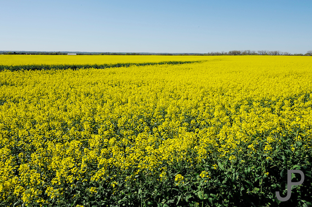"""A field of yellow canola in central Oklahoma.  Canola has become a rotation crop to improve the yield and health of wheat crops.  Farmers call it and """"oil seed"""" crop versus a """"grain crop""""."""