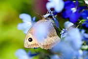 Meadow Brown Butterfly, Maniola jurtina, Female, Kent, UK, on ornamental flowers in garden, underside of wings, eye spot, brown