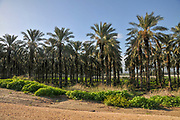 Palm tree plantation in the Jordan Valley, Israel
