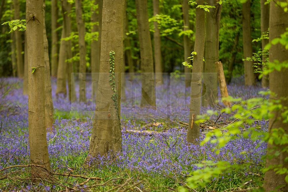 © Licensed to London News Pictures. 27/04/2020. CHORLEYWOOD, UK.  Bluebells in flower in Philipshill Wood near Chorleywood, Hertfordshire.  The recent warm weather has brought this native species, Hyacinthoides non-scripta, into bloom a few weeks earlier than usual.  A change in the weather is forecast for the next few days with rain and lower temperatures.  Photo credit: Stephen Chung/LNP