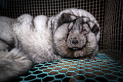 "At more than five times their normal weight the horrifying pictures of Arctic Foxes from a Finnish animal rights group show the animals confined in tiny cages. Too fat to walk for fear of breaking their legs the obese animals sit lifeless in their cages waiting to be harvested to make garments with their prized pelts that help them stay warm in the wild. According to Finnish organization Oikeutta eläimille (Justice for Animals), the skins of the animals produced by Saga Furs are sold to high end fashion brands with garments sold by the likes of Louis Vuitton and Michael Kors. ""The skins sold by Saga Furs are just the skins of these deformed processed giants,"" says Kristo Muurimaa of Justice for Animals. The oversized skins of the bloated fur farm foxes reportedly command a higher price than regular sized skins. Fur farming has been banned in many European countries but Finland still continues the barbaric practice. ""Fur farming in Finland is sick. It shows that farmer welfare does not mean anything to them and that they try to get as much profit from their skins as possible. ""Society must set limits to such greed, "" said Kristo Muurimaa. 26 Sep 2017 Pictured: Fur farm Arctic Fox. Photo credit: Oikeutta eläimille/ MEGA TheMegaAgency.com +1 888 505 6342"