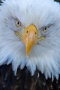 Bald Eagle, Haliaeetus leucocephalus, portrait, Kenai Peninsula, Homer Spit, Homer, Alaska. Digital original, #2006_0593 ©Robin Brandt