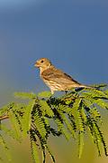 House Finch (Carpodacus mexicanus) Amado, Arizona<br /> Female<br /> animals<br /> wildlife<br /> birds