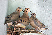 mourning Dove, bird, nest, chick