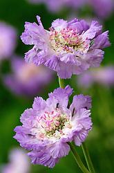 Scabiosa caucasica<br /> Pincushion flower, Scabious