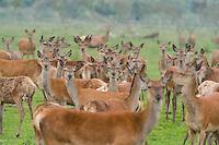 Red deer (Cervus elaphus) group of hinds (females) Oostvaardersplassen, Netherlands. Mission: Oostervaardersplassen, Netherland, June 2009.