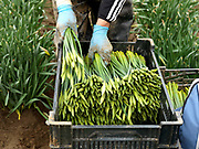 Packing bunches of daffodils into crates after harvesting in a field farmed by commercial bulb grower Walkers Bulbs At Taylors, Holbeach, Spalding, Lincolnshire, UK