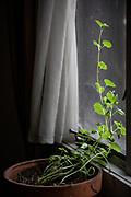A dahlia indoors in winter.