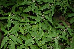 Ongaonga, Tree nettle, Urtica ferox