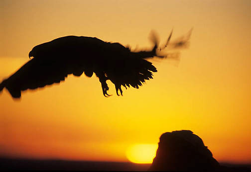 Golden Eagle, (Aquila chrysaetos) Silhouetted by setting sun in flight. Captive Animal.