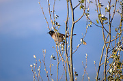 Pycnonotus xanthopygos, Israel Yellow-vented Bulbul AKA White-Spectacled Bulbul, This bird is currently the highest on the list to be declared the Israeli national bird