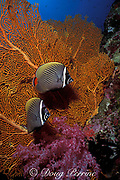 redtail or red-tailed butterflyfish, Chaetodon collare, Similan Islands, Thailand ( Indian Ocean )