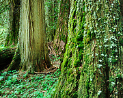 Old-Growth Western Red-Cedar Grove along the Ohanapecosh River, Mount Rainier National Park, Washington