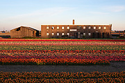 Tulip field WP Ruigrok & zn flower farm