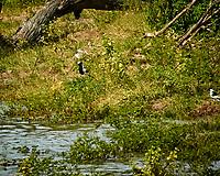 Blacksmith Lapwing. Chobe river, Botswana.  Image taken with a Nikon 1 V3 camera and  70-300 mm VR lens.