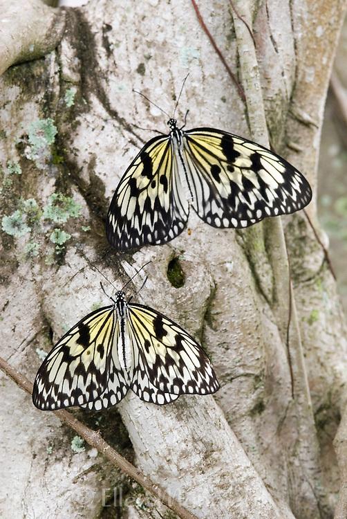 Tree Nymph (Idea leauconoe) Butterflies, also known as Paper Kite Butterflies and Rice Paper Butterflies