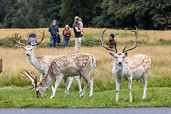 Licensed to London News Pictures. 01/09/202. London, UK. Young red deer enjoy grazing in the autumnal golden brown grass in Richmond Park, south-west London today on the first day of Meteorological Autumn. Weather forecaster have predicted very warm weather for the weekend and next week for the South East, with temperatures in excess of 27c expected. Photo credit: Alex Lentati/LNP