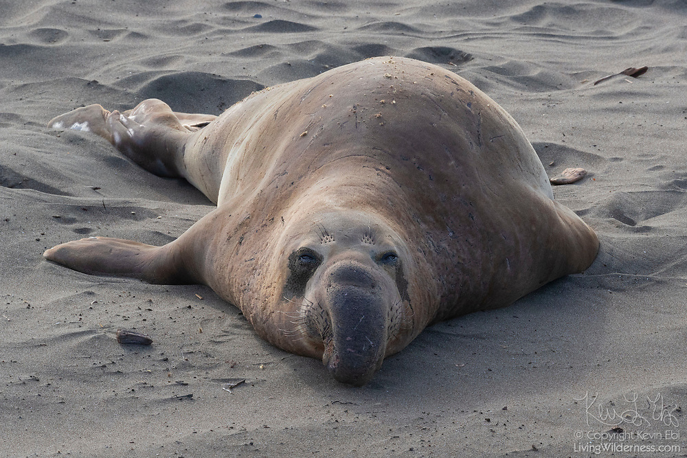 An adult male elephant seal (Mirounga angustirostris) rests on the sandy beach at the Piedras Blancas Elephant Seal Rookery near San Simeon, California. Elephant seals typically spend 9 months at sea, coming to shore only to give birth, mate and molt. Elephant seals are named for the long snouts, called proboscis, that male seals develop. The Piedras Blancas Elephant Seal Rookery is part of the Piedras Blancas State Marine Reserve and Marine Conservation Area, managed by California.